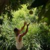 Harvesting Pomelos in Hương Vân Commune