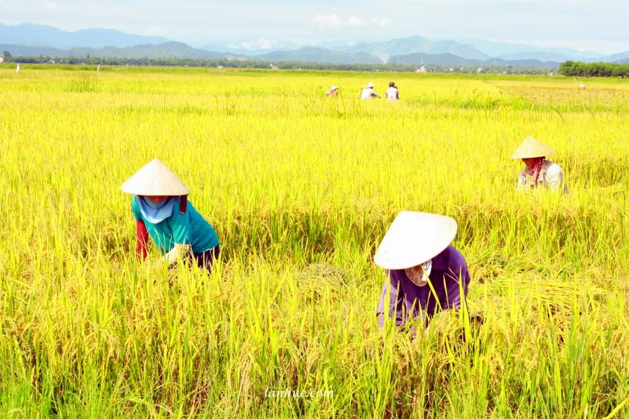 nón lá, rice field